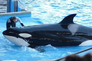 Dawn Brancheau was killed when the park's largest orca, Tillikum, dragged her underwater on Wednesday (Reuters)
