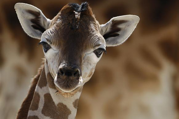 A nine-day-old female Rothschild Giraffe (Reuters)