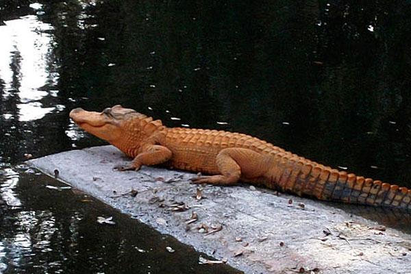 The orange alligator
