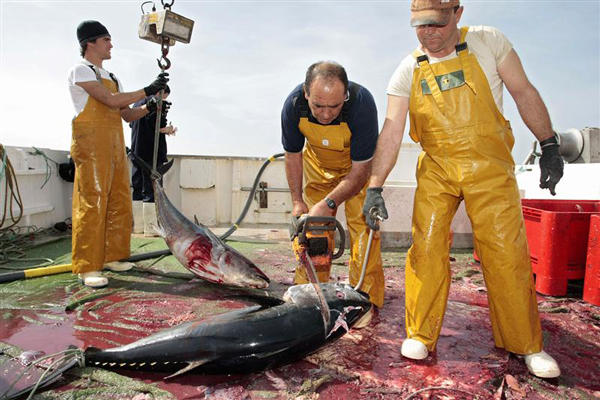 Workers cut the head of an Atlantic bluefin tuna on a fishing vessel on the Mediterranean sea (Reuters)
