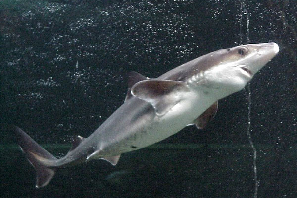 A dogfish shark (photo: dragoncillo on Flickr)