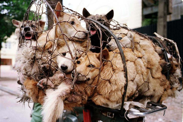 Dogs look out from a wire cage on the back of a motorcycle enroute to a Hamlet on the outskirts of Hanoi (Reuters file)
