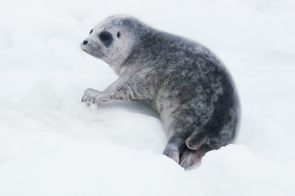 A ringed seal pup (file)