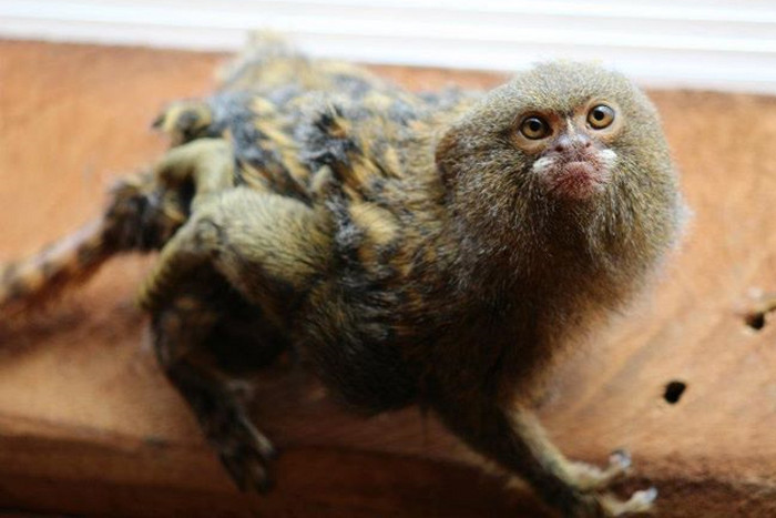The baby pygmy marmoset clings to her dad shortly after she was born at Wellington Zoo (Photo: Wellington Zoo)