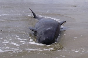 Seven whales died at the stranding hot-spot at Farewell Spit