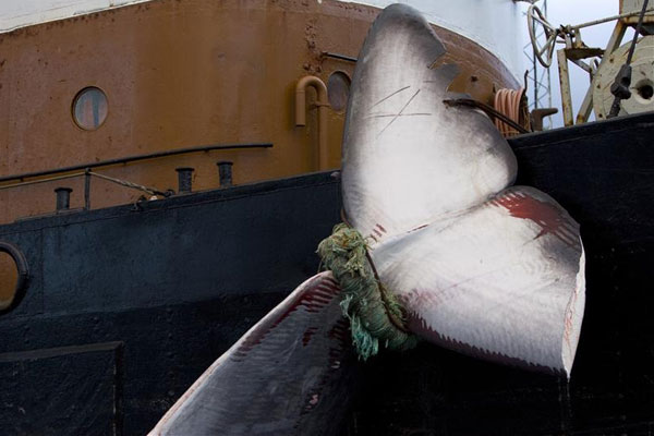 Foreign Minister Murray McCully says New Zealand has worked hard with Japan to try and end its whaling programme (file)