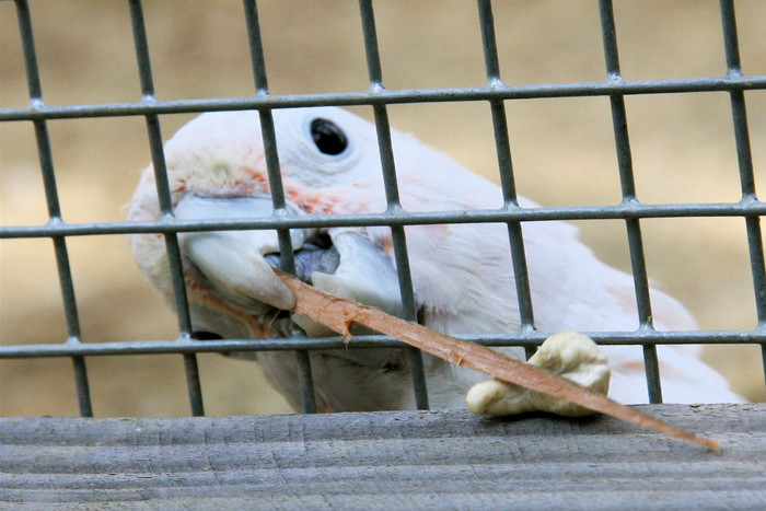 Figaro, the clever cockatoo (Photo: Alice Auersperg)