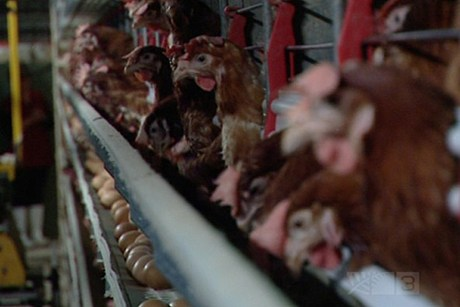 From today, no new battery cages will be allowed in New Zealand  (file)