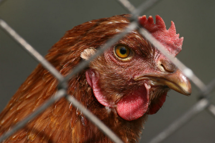 More than 80 percent of New Zealand eggs are currently laid by hens in battery cages (file)