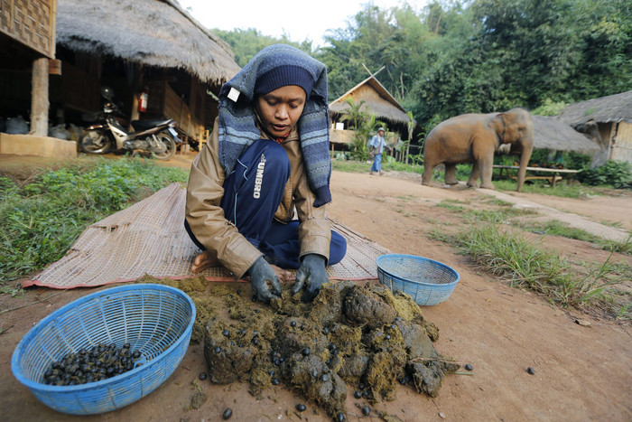 A Thai mahout picks coffee beans out of elephant dung as part of the process to make Black Ivory Coffee (AAP)
