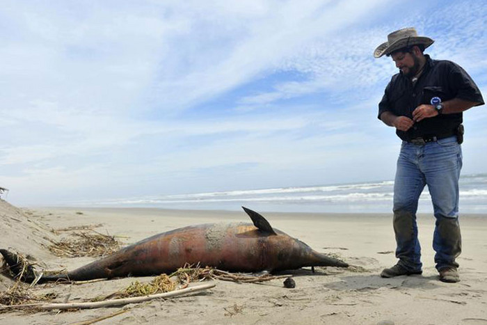Veterinarian Carlos Yaipen of the Research and Conservation of Aquatic Animals (ORCA) looks at a dead dolphin on the shore of a beach in Lambayeque (Reuters)