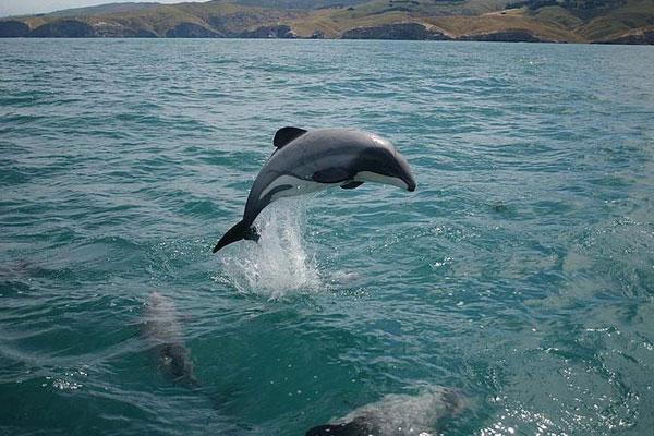 A Maui's dolphin