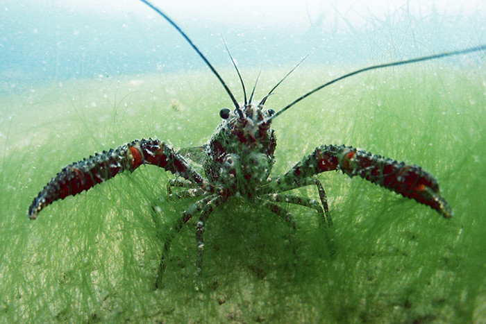 Koura or freshwater crayfish (Photo: John Clayton/NIWA)