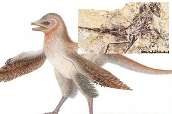 Drawing of Eosinopteryx, with its skeleton (inset)