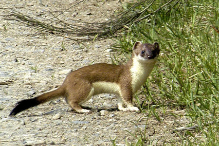 A stoat photographed in Belgium (Photo: James Lindsey)