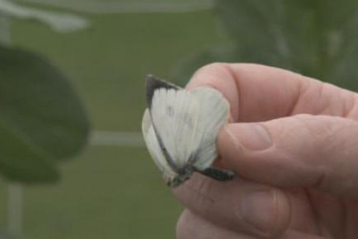 DOC is pleased with the number of great white butterflies caught and killed during the school holidays (File)