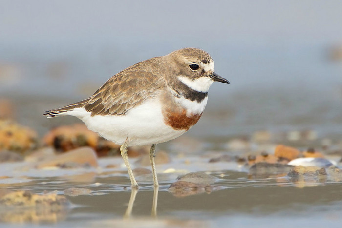 The banded dotterel (JJ Harrison)