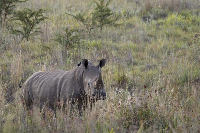 A rhinocerous in South Africa (Reuters file)
