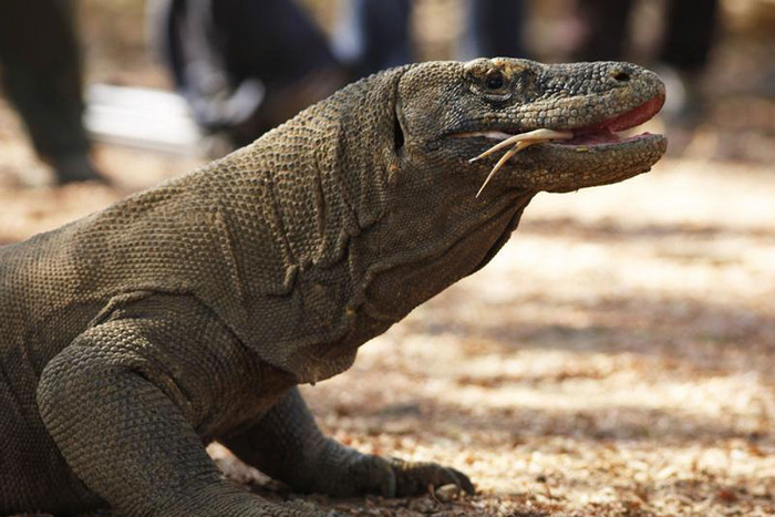 Komodo dragons can grow to over 3 metres long (file, Reuters)