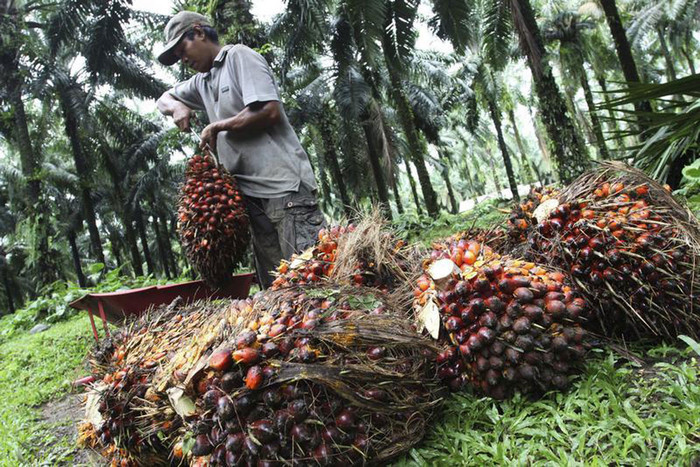 A worker collects palm fruit at a plantation owned by a private company in Langkat of Indonesia's north Sumatra province (Reuters)