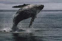 Humpback whale (File)