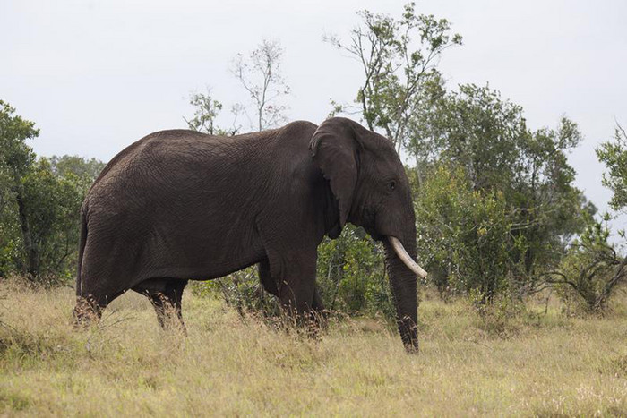 A male elephant wanders on the grasslands of Ol Pejeta Conservancy (Reuters)