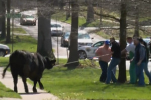 The black cow escaped while being offloaded at a campus research facility