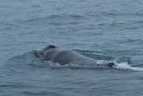 Humpback calf spotted in Cook Strait (Photo:DOC)