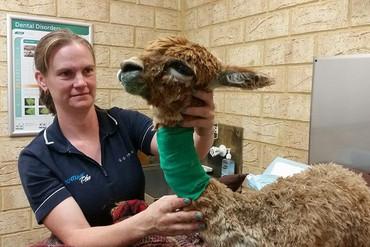 Vets treat an alpaca injured in the Western Australia bushfires (Waroona Vet Clinic / Facebook)