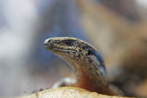 Zealandia has a permit for 100 spotted skinks (Simon Wong / 3 News)