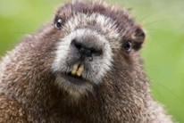 A beaver (Стоп Факт/YouTube)