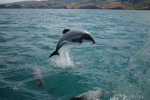 The Maui dolphin (File)