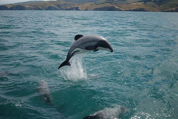The Maui dolphin (File)