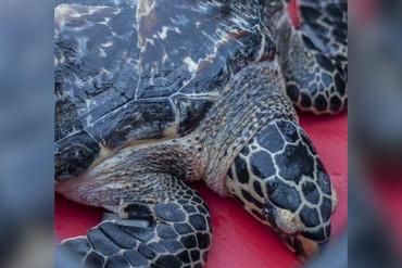 Koha was nursed back to health at Kelly Tarlton's aquarium (Nava Fedaeff/NIWA)