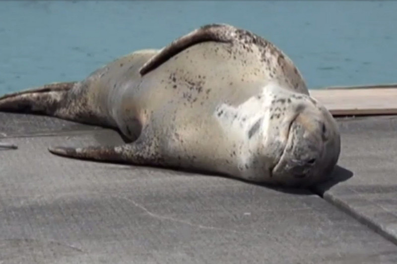 The seal (Newshub.)