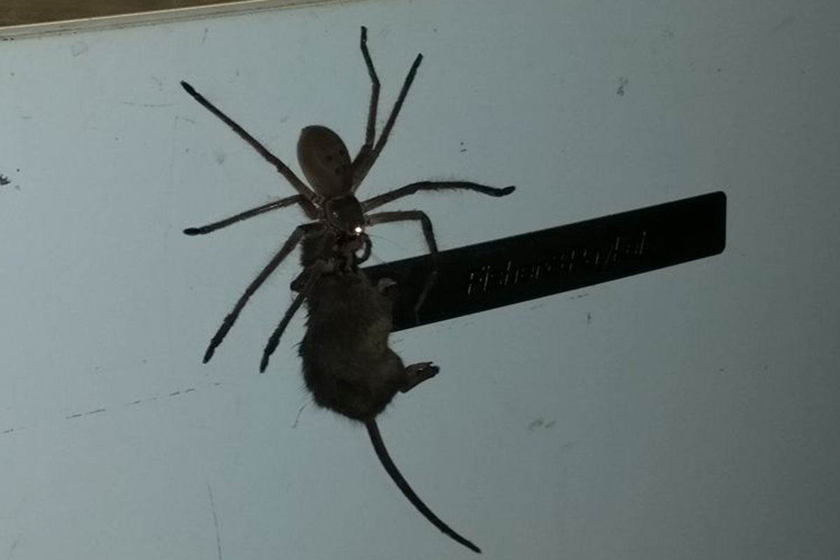 Australian finds spider carrying mouse