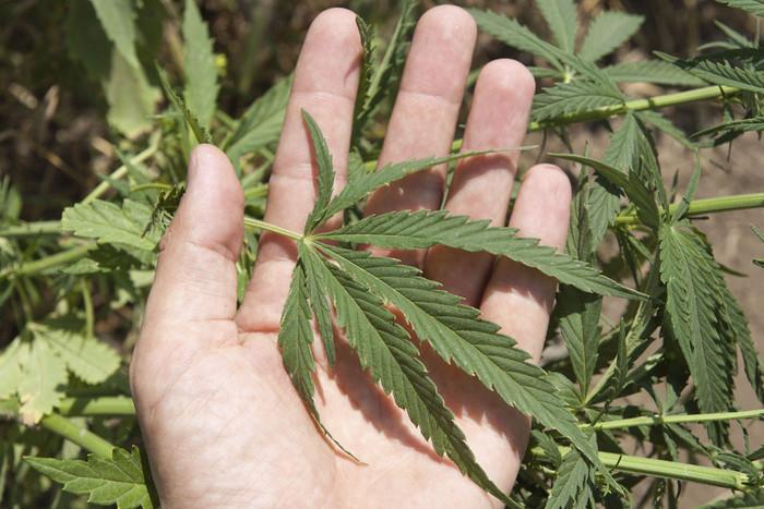 Cannabis (File)