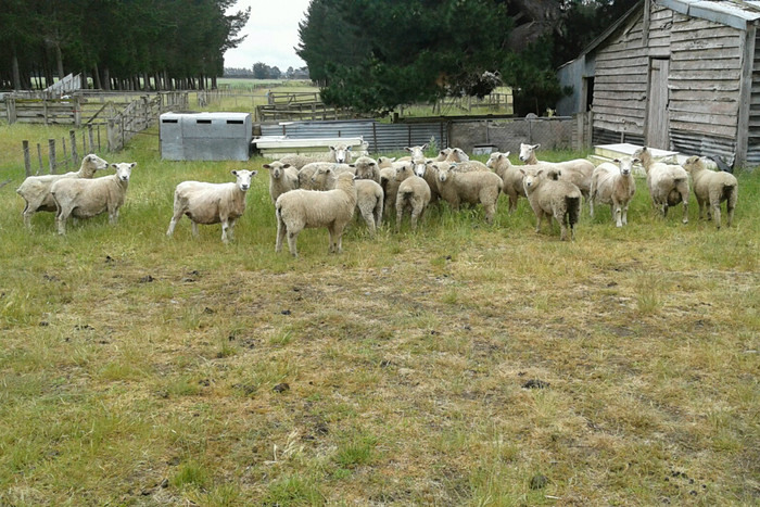 A mystery flock of sheep have turned up on a Rangiora farm with their owners no where in sight (supplied)