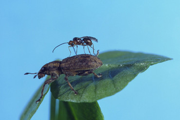 The wasp has saved NZ's agriculture industry at least $489m (AgResearch / Facebook)