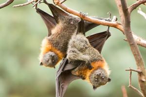 Flying fox bats (Getty)