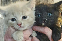 The five week old kittens now need a new home (New Lives Animal Rescue / Donna Young)