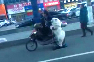 Doggone: Dog shows scooter-riding skills in China