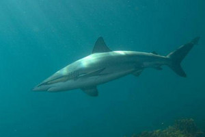 Warning after large sharks seen near Wellington