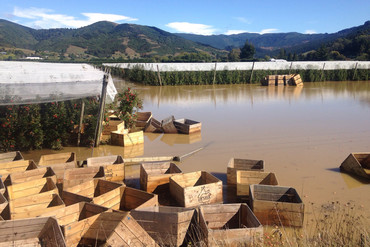 The flooded Riwaka river spills into a nearby Orchard (Emily Cooper)
