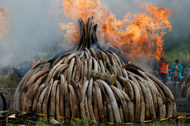 Fire burns part of an estimated 105 tonnes of ivory and a tonne of rhino horn confiscated from smugglers and poachers at the Nairobi National Park  (Reuters)
