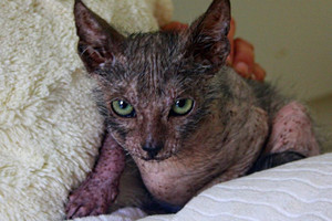 Eyona, a lykoi or 'wolf-cat' (TEARS Animal Rescue)