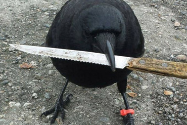 Canuck the crow (Shawn Bergman / Facebook)