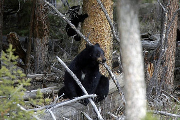 With bear season fast approaching, police are more likely than ever to catch unruly bruins on Sudbury's streets (Reuters)