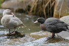 Tourist fined $10,000 for killing protected whio duck