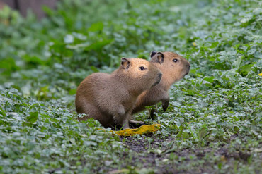 The two youngest capybaras at Auckland Zoo (Auckland Zoo/Twitter)